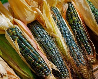 AccuPid MON 87427 Maize Detection Kit