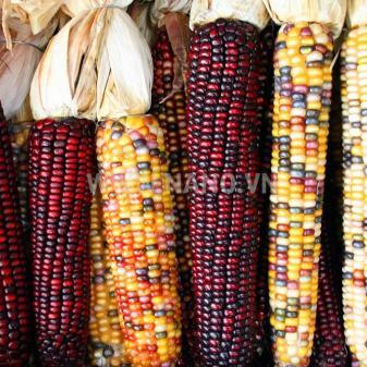 AccuPid MON 89034 Maize Detection Kit