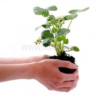 AccuPid Plant Detection Kit